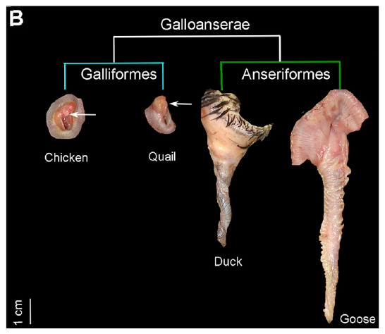 Anatomical preparations of adult male external genitalia in two anseriforms (goose and duck) and two galliforms (chicken and quail). Arrows point to the reduced phalluses in galliform species. Scale bar represents 1 cm. (Source: 'Developmental Basis of Phallus Reduction during Bird Evolution,' Ana Herrera et al, Current Biology)
