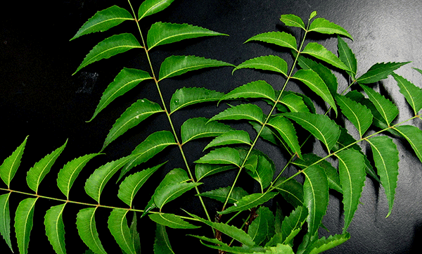 neem leaves 600