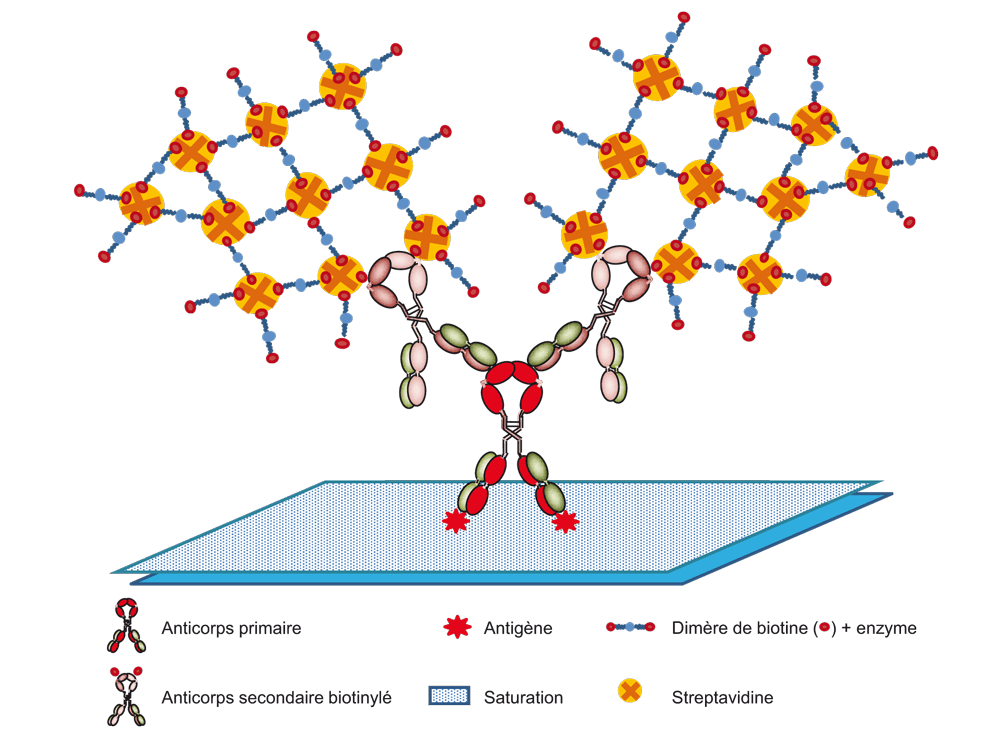 immunologie les traceurs