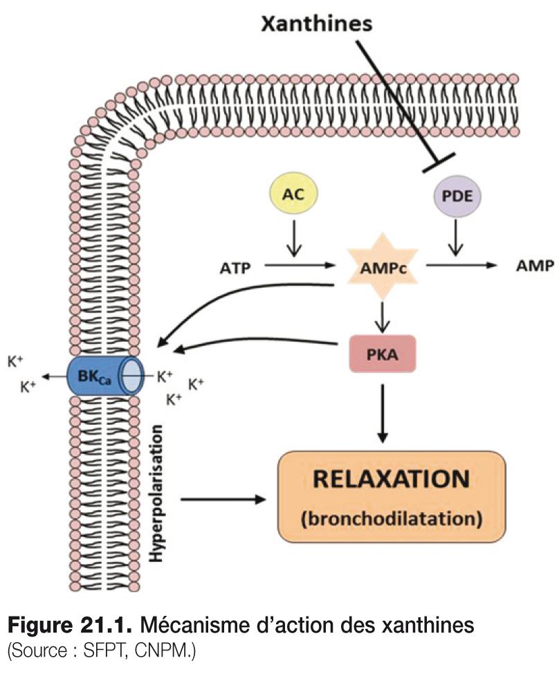 Figure 21.1 . Mécanisme d'action des xanthines