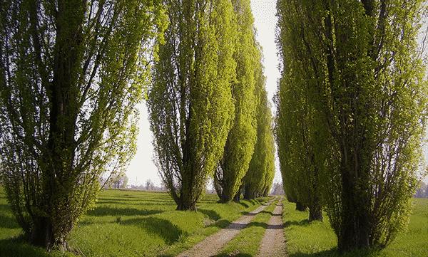Poplars-by-sfumich600